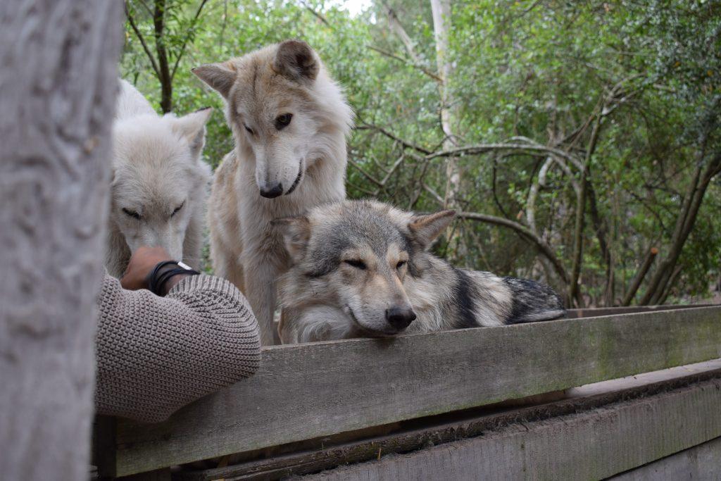 garden-route-wolves